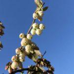 ブルーベリーの開花、農園は春の喜びに包まれています。